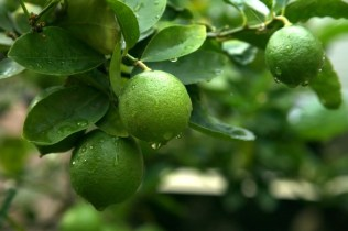 cara budidaya jeruk nipis di kebun dan di dalam pot yang menguntungkan